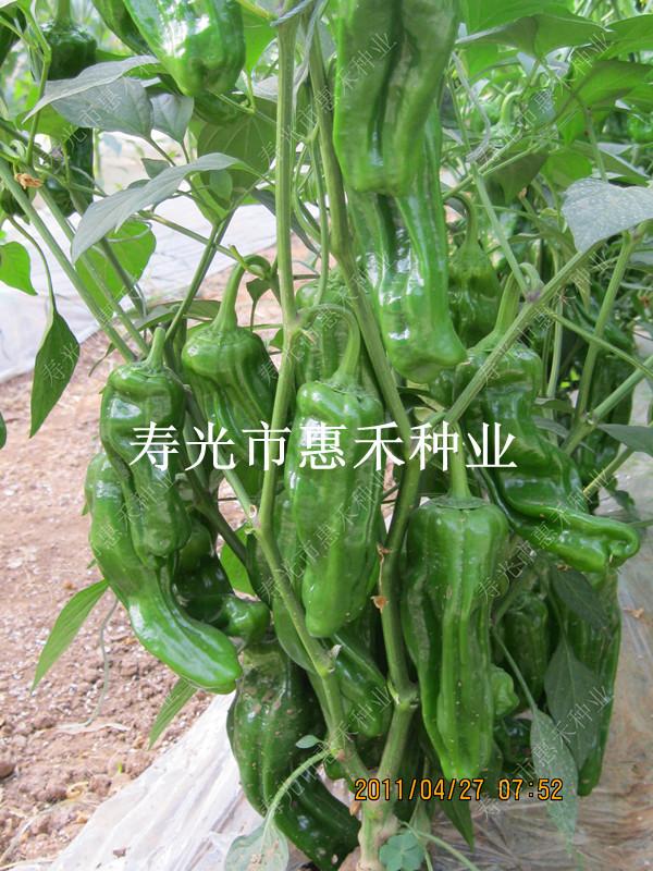 先锋302—辣椒种子