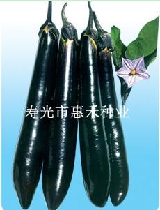 万寿龙—茄子种子
