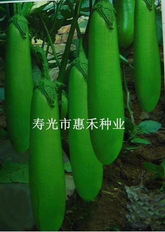 供应绿天使—茄子种子