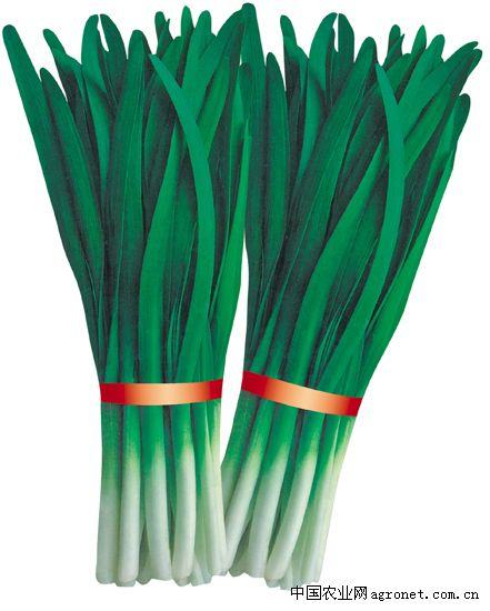 长青韭霸—韭菜种子