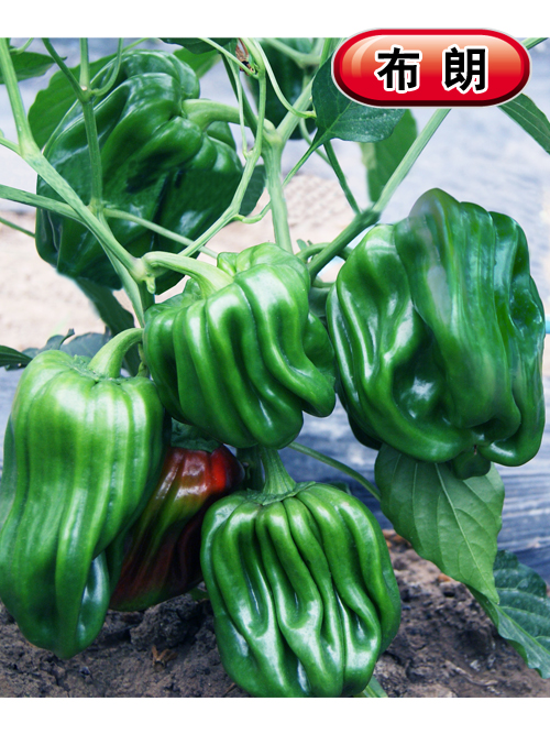 布朗F1-麻椒種子