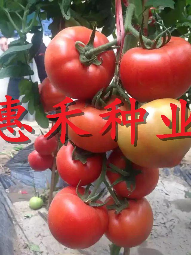 以色列大紅F1番茄種子