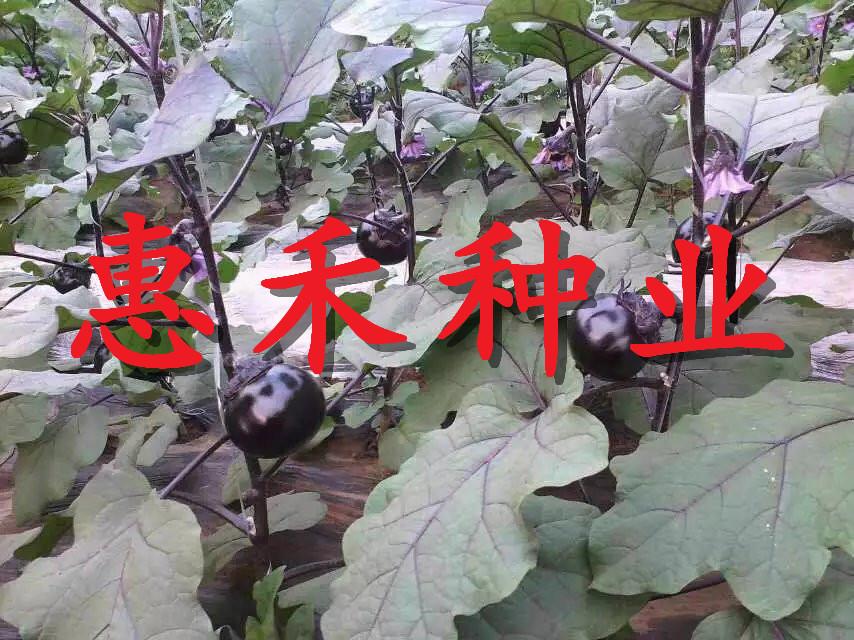 黑大帥FF1茄子種子