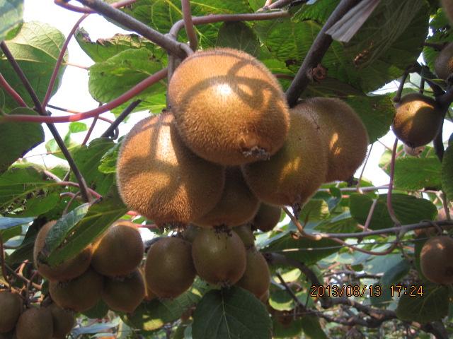 亚特猕猴桃