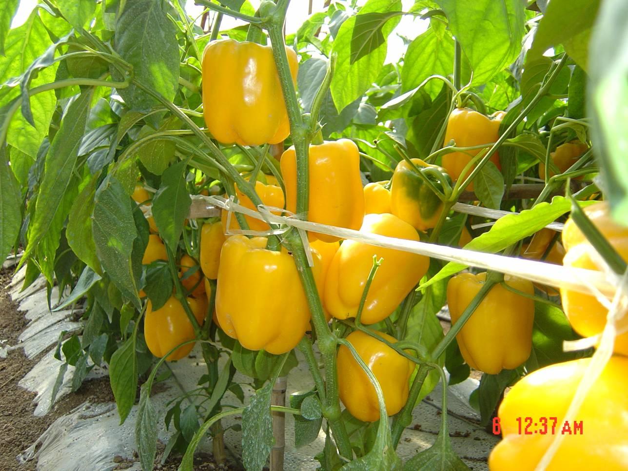 爱丽丝黄皮甜椒—甜椒种子
