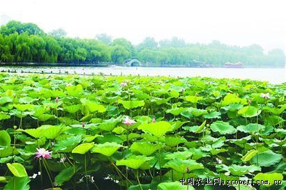 山东:济南大明湖风景区荷花盛开(图)
