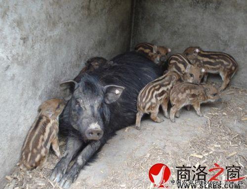 柞水县野生动物保护站技术员与凤凰