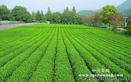 河南信阳茶叶产量大增价格基本持平(图) -欢迎