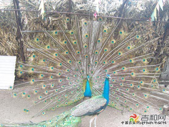 女孩数字简谱-在农家大院里如果见到几只鸡,也许很正常,如果看到一只开屏的孔雀