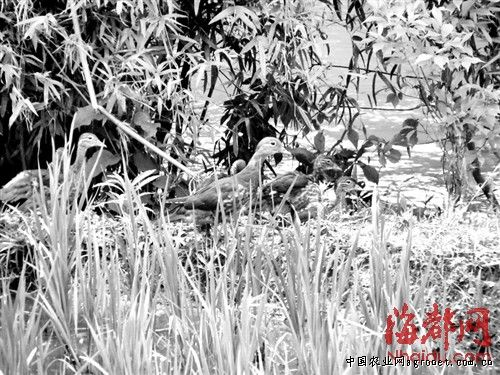 清流首次观测到野生鸳鸯在福建野外繁殖