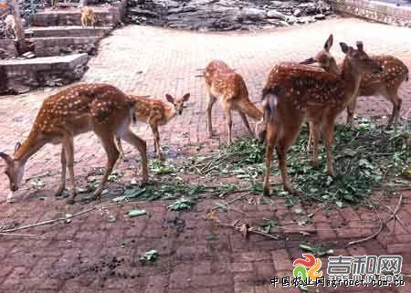 所有分娩的梅花鹿和幼崽都安全存活