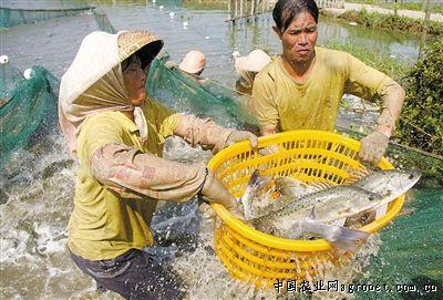 广东珠海海鲈养殖最能赚钱 但是眼下成本高风险大(图)