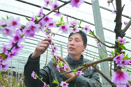 日光温室里栽种的油桃树(图)