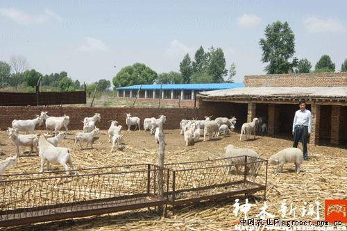 大保当镇刘喜柱的养羊场