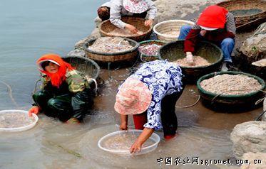 6月24日,连云港连岛渔村的渔民在渔港码头清洗刚捕捞上来的鲜虾皮.