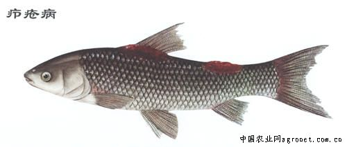 锦鲤失漂自己恢复_鱼体失衡症的简单方法_鱼鳔炎症怎么治