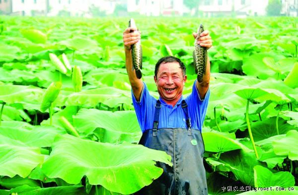 他说,莲藕套养黑鱼后,黑鱼和鲫鱼的活动可以增强莲藕底泥的透气性,且