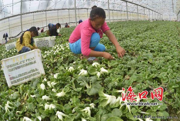 海南马坡洋每天3 4吨鲜菜供应海口市场 行业资讯 中国水果