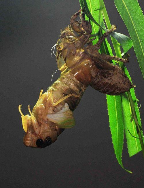 生物界奇妙演变过程:金蝉脱壳(图)