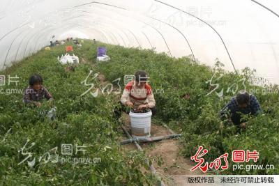 安徽黄山风景区辣椒
