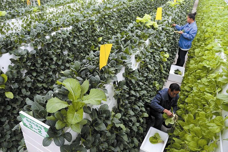 图为农技人员在采摘无土栽培的蔬菜。