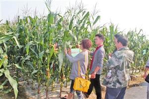 鲜食玉米:芒市群众增收的甜蜜产业