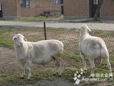 大中型动物,标志着澳大利亚杜泊种羊正式落户贵州