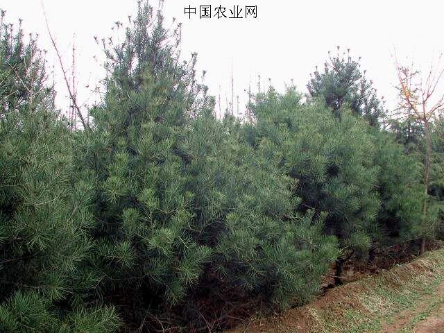 2020/6/8          供应胸径2-30公分的松树和高30-500公分的柏树