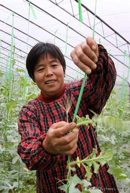 """据介绍,这种西瓜不是""""躺""""在地上长,而是吊在藤蔓上长,每个一般3至5斤"""