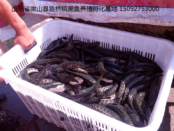 中央7套黑鱼养殖 [致富经黑鱼]朱正伟:养黑鱼每年多赚50万的秘密