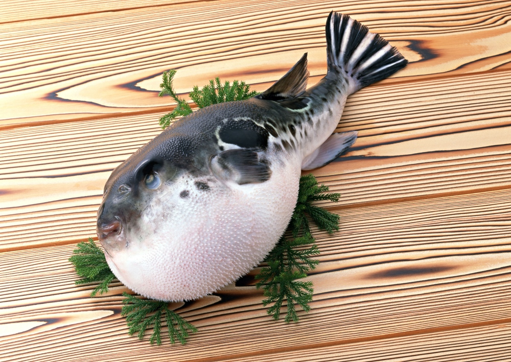 供应河豚鱼