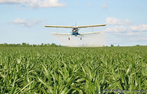 农用飞机对玉米田进行航化作业(图)