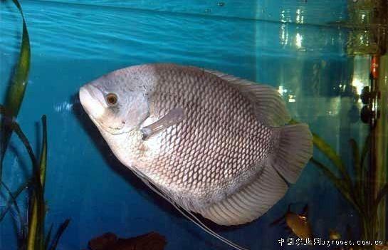 鱼的嘴巴画法步骤图片
