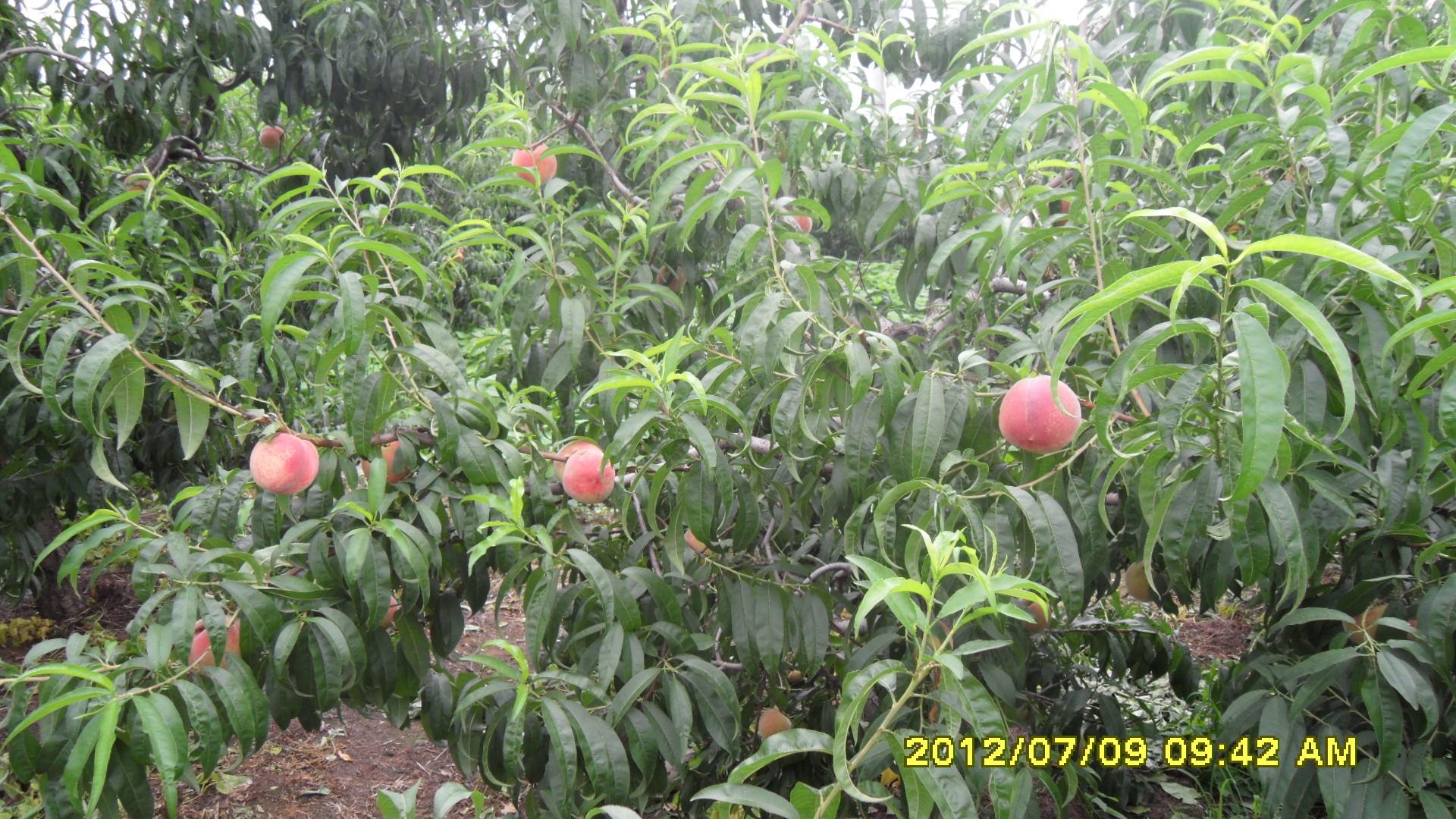 供应优质仓方早生鲜桃