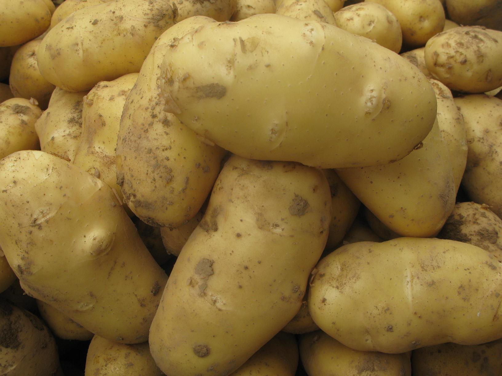 供应马铃薯