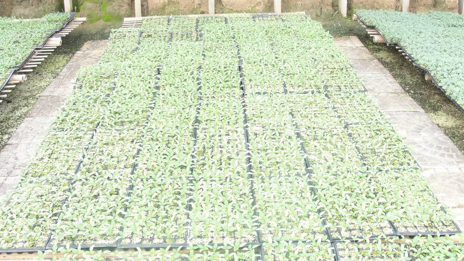 彩椒種苗—甜椒種苗