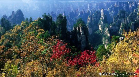 湖南张家界:国家森林公园(图)