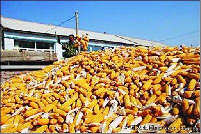 去年,突泉县财政现代农业玉米产业项目落实在六户镇,项目区覆盖新合
