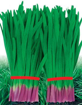 壽光獨根紅—韭菜種子