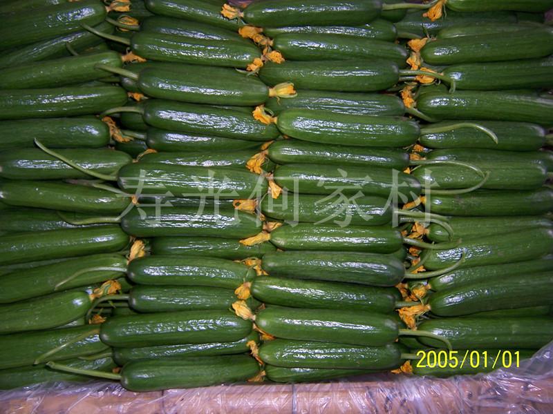 供应油瓜—无刺小黄瓜 – 产品展示 - 寿光市稻田镇何