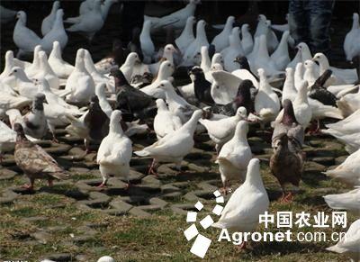 鸽子的营养价值_鸽子的营养价值高胃热者不宜食用鸽子