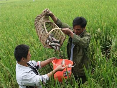 景宁英川发展稻田养鱼促农增收(图)