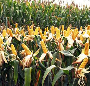 2016性感蕾丝镂空背心津北288—玉米种子– 产品展示- 济南鑫润达种业