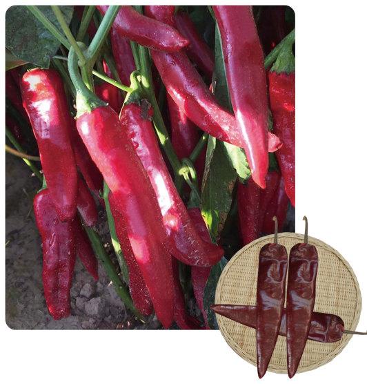 大绿红塔—辣椒种子