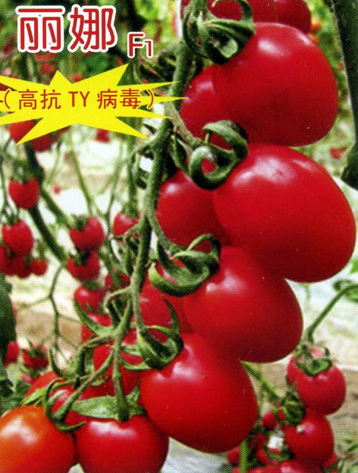 丽娜—番茄种子