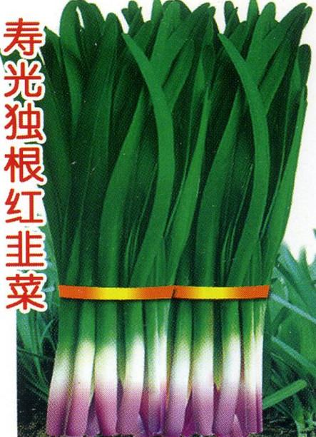 寿光独根红韭菜-韭菜种子