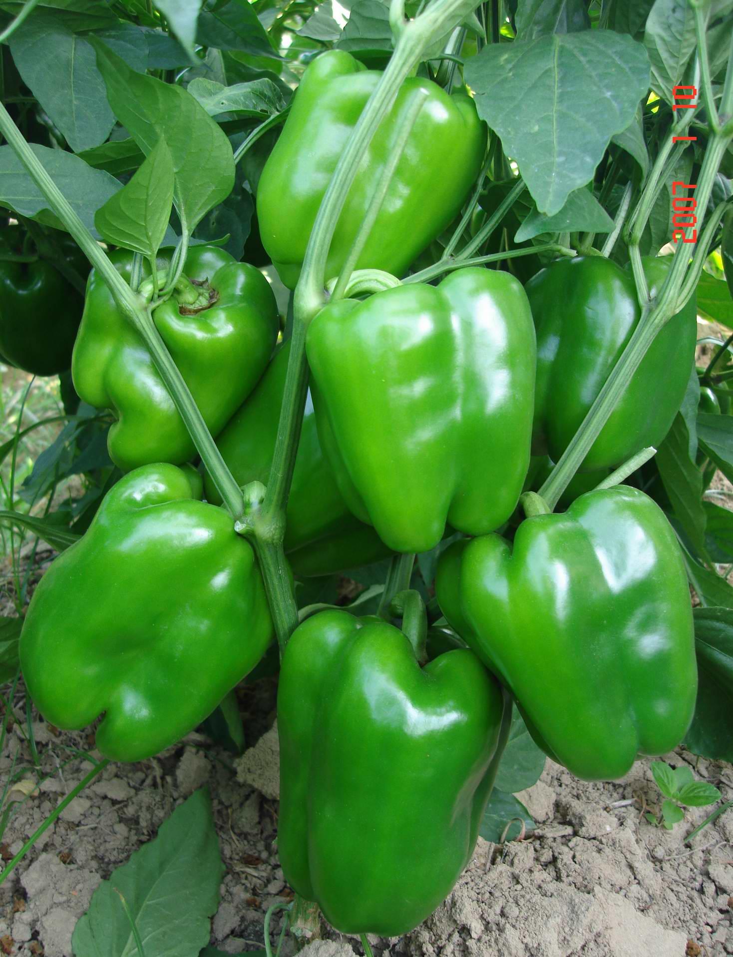 绿园—甜椒种子