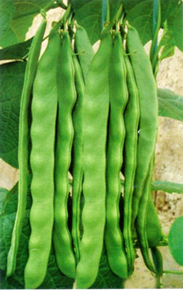 绿剑龙—芸豆种子