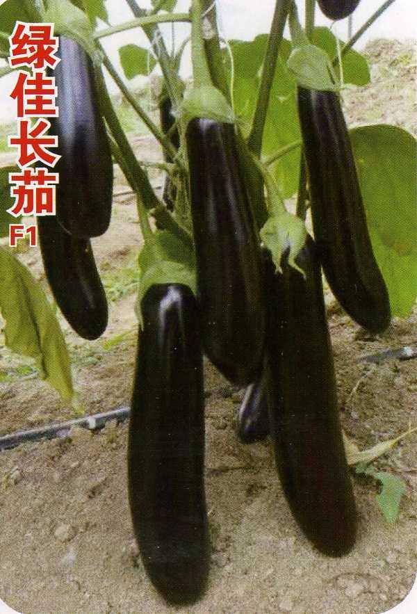 绿佳长茄—茄子种子