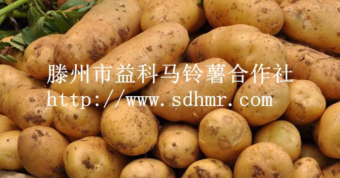 荷兰十五号—土豆种子